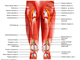Sciatic nerve   piriformis and back muscles